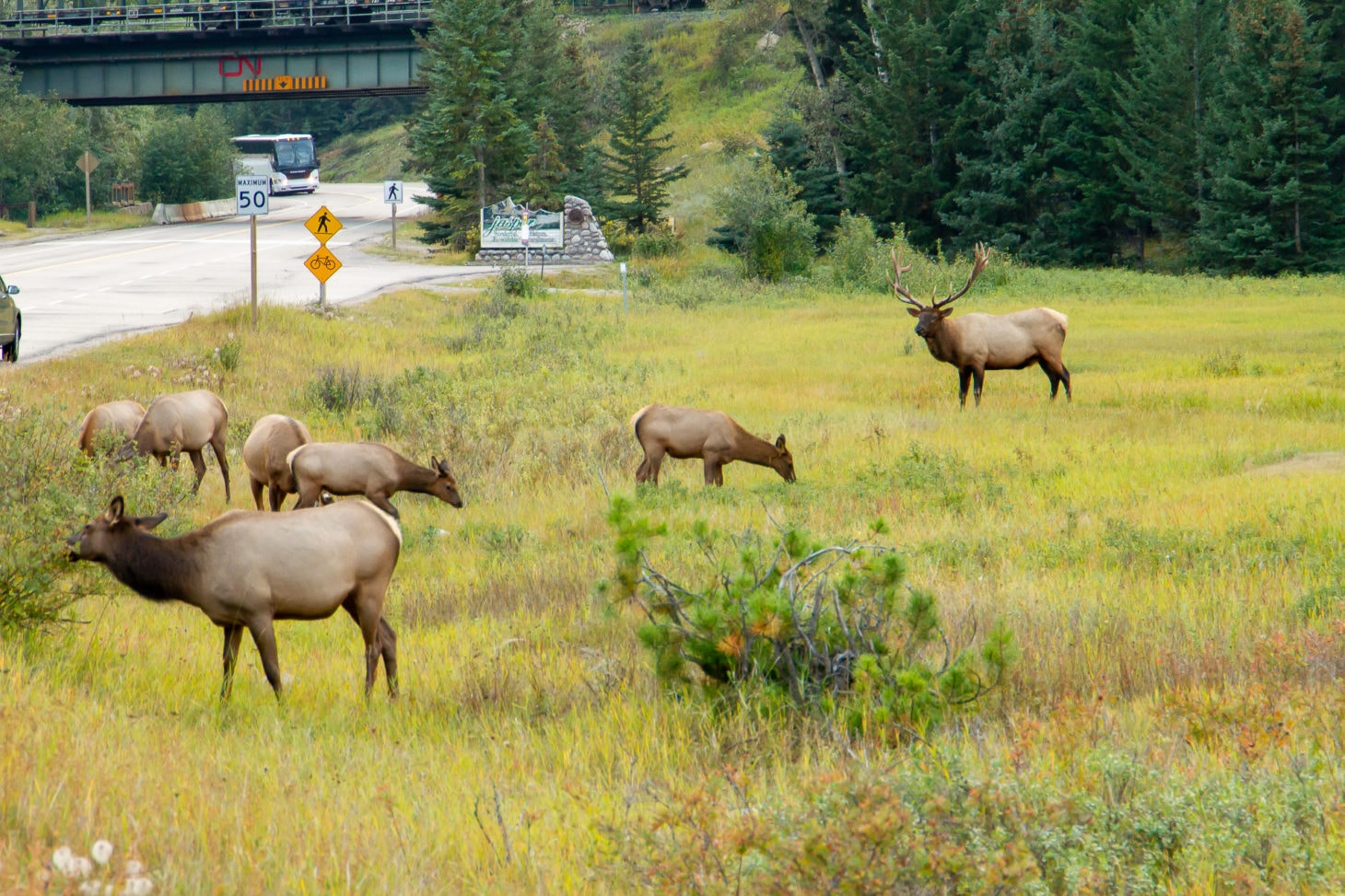 Group of elk roaming near road